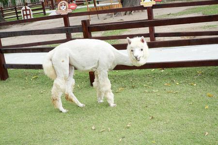 alpaca: cute alpaca