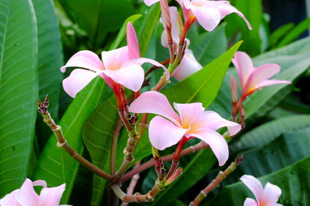 tahitian: Frangipani flower or Leelawadee flower on the tree. Stock Photo