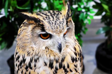 Gray owl, yellow eyes