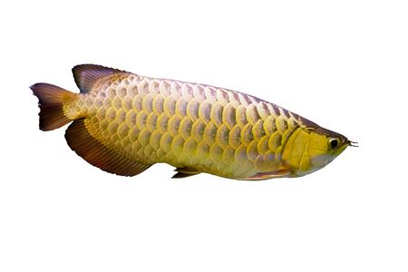 Arowana fish or dragon fish on a white background. Stock Photo