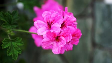 pelargonium: pelargonium grandiflorum Flower Stock Photo