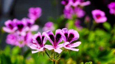 pelargonium: pelargonium capitatum