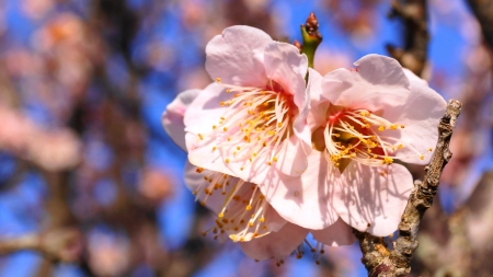 japanese apricot flower: chinese plum,japanese apricot  Stock Photo
