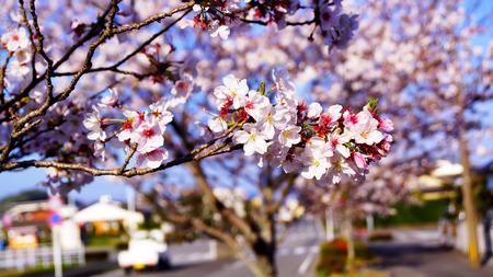 sakura in nobeoka miyazaki japan photo