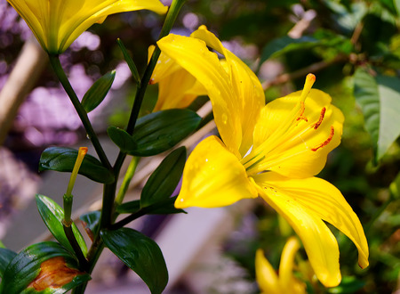 yellow lily flower on nature background photo