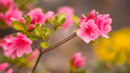 Beautiful pink rhododendron flowers photo