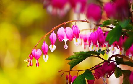 blossoms of bleeding heart flowers in my garden japan photo