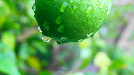 green  lemon in japanese garden photo