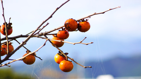 persimmon tree: Persimmon tree and bright orange persimmons in nobeoka miyazaki japan