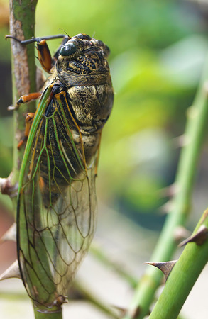 hemiptera: Cicada perched on tree rose in japanese garden Stock Photo
