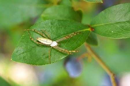 pisaura mirabilis: Spider on green leaf