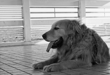 high dynamic range: Golden retriever in black and white high dynamic range in Japan