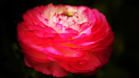buttercup: Ranunculus Pink Picotee(Persian Buttercup) flower Stock Photo