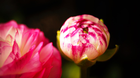 buttercup flower: 'Pink Picotee' (Persian Buttercup) fiore Ranunculus