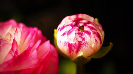 buttercup flower: Ranunculus Pink Picotee(Persian Buttercup) flower Stock Photo