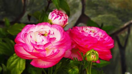 buttercup: Ranunculus ,Pink Picotee,Persian Buttercup, flower Stock Photo