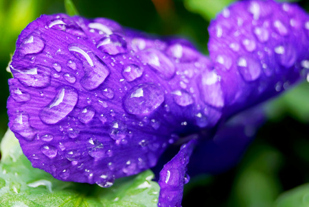 flamy: clost up Water drops on  Viola flower in japanese garden