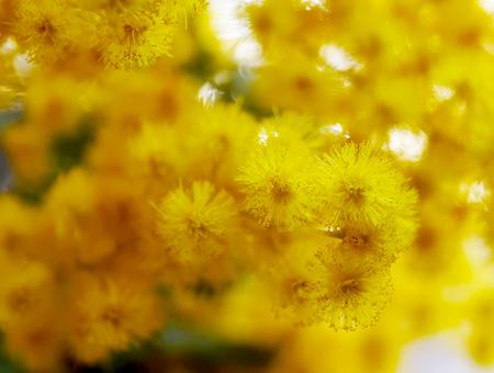 mimose: Primo piano bel giallo Mimosa fiore in giardino japannese Archivio Fotografico