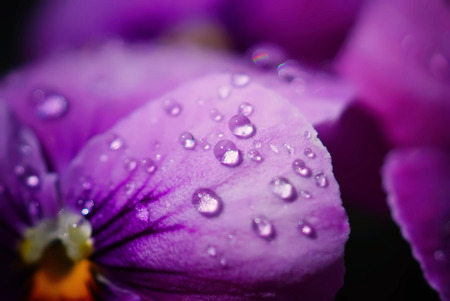 flamy: Close up Water drops on Viola flowers  in japanese garden Stock Photo
