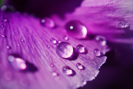 Close up Water drops on Viola flowers  in japanese garden Foto de archivo
