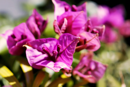 seson: close up bougainvillea flower