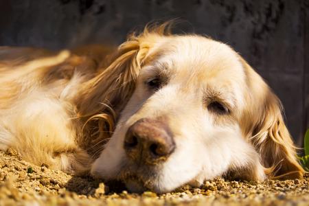 golden: Golden Retriever