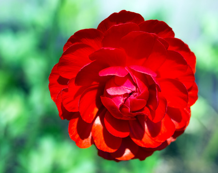 still lifes: close up red floweron green nature background