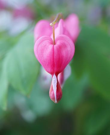 blossoms of bleeding heart flowers in spring season photo