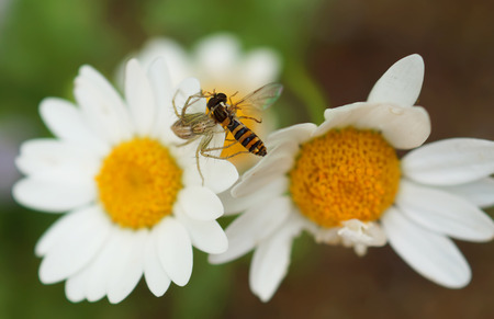spider while eating a bee on daisy flowers photo