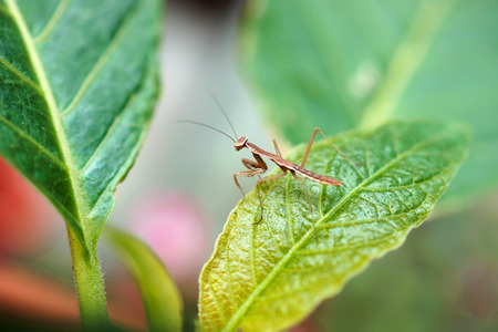foreleg: mantis on green leaf