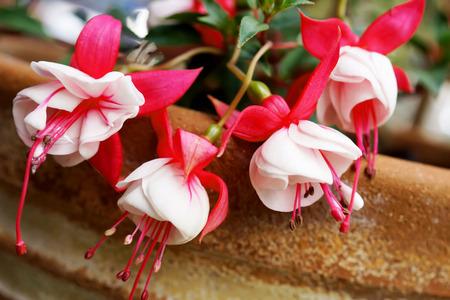 fuchsias: Fuchsia flowers in japanese garden
