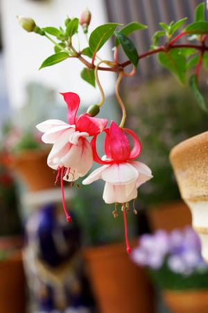 flores fucsia: Flores fucsias en el jardín japonés