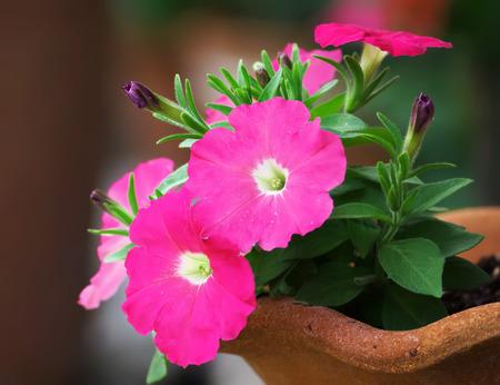 Pink petunia flowers close up photo