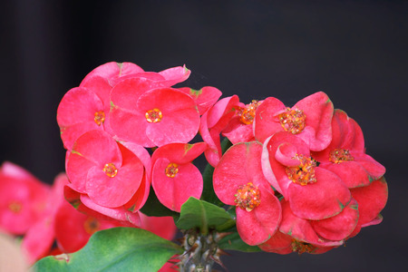 Crown of thorns flowers : Euphorbia milli Desmoul in japanese garden photo