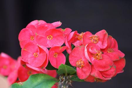 Crown of thorns flowers : Euphorbia milli Desmoul in japanese garden photo