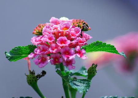 lantana: lovely colorful lantana flower Stock Photo