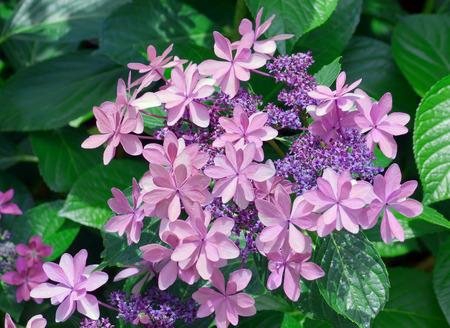 beautifu: beautifu purple hydrangea flower