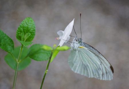 beautifu: beautifu Butterfly on nature