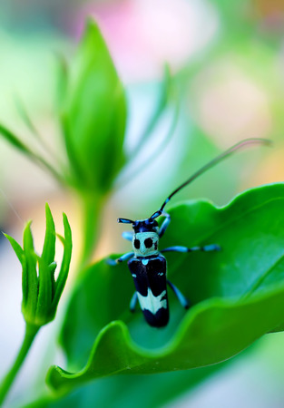 elongacion: Aristobia horridula sobre fondo verde de la naturaleza