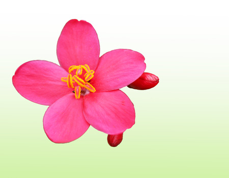rosids: Red peregrina, spicy jatropha flowers on green,white background Stock Photo