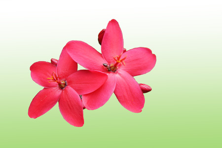 malpighiales: Red peregrina, spicy jatropha flowers on green,white background Stock Photo