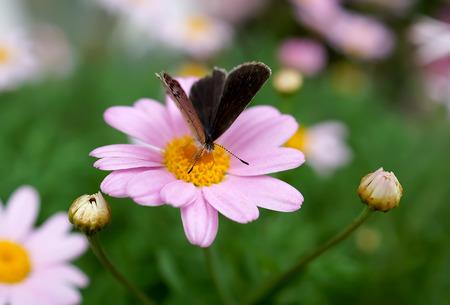 小さなデイジーの花の蝶 写真素材