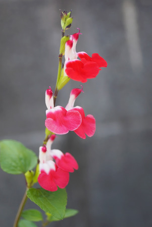 hot lips: close up of Salvia microphylla Hot Lips in the garden Stock Photo