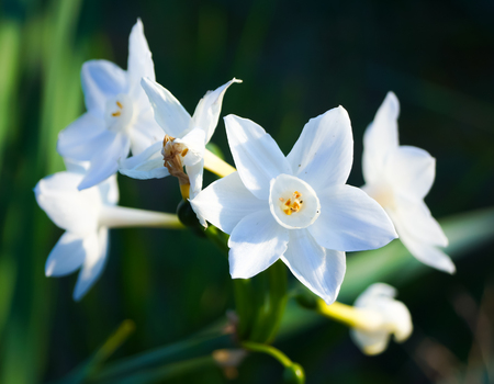 bluer: white Daffodils in the garden Stock Photo