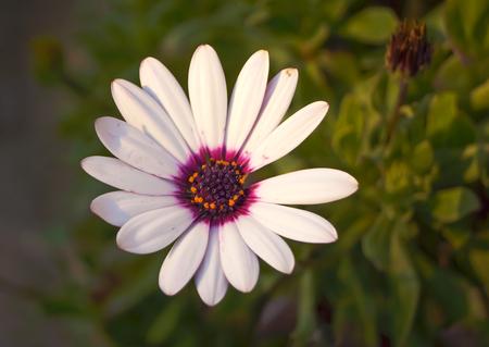 african daisy: Close up beautiful Osteospermum violet African daisy flower