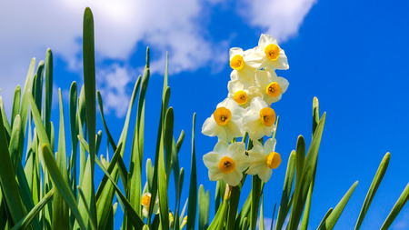 bluer: white Daffodils in the winter japan