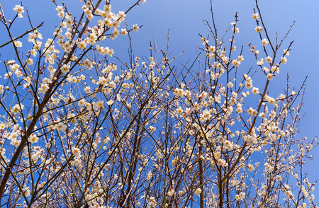 apricot tree: Apricot tree flower in spring japan