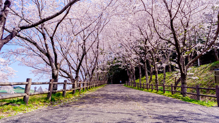 beautiful cherry blossom ,sakura in spring japan 写真素材