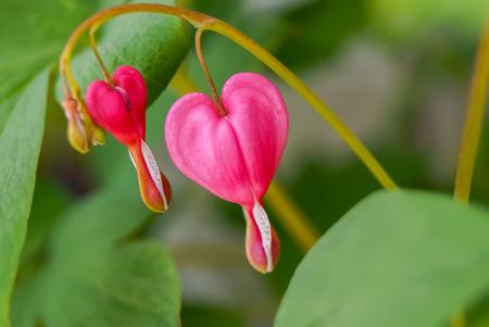 hemorragias: Flor del corazón sangrante en el jardín japonés