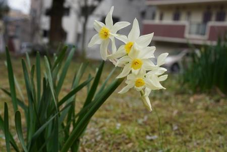 Close up lovely Daffodil flower in garden.